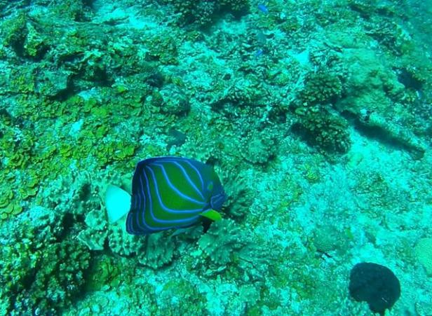 blueringed angelfish2 (Copy)