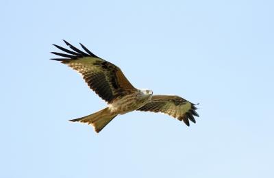 A kite (image courtesy of James Barker at FreeDigitalPhotos.net)